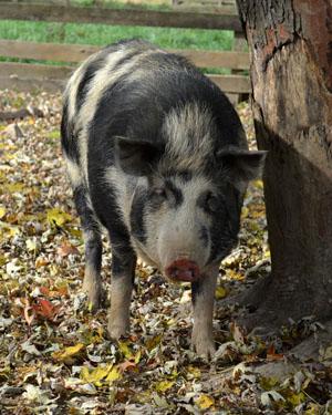 ossabaw-island-pig